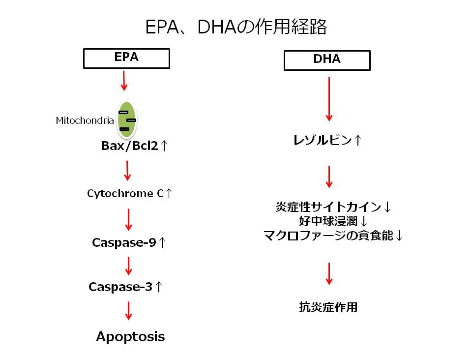EPA,DHAの作用経路