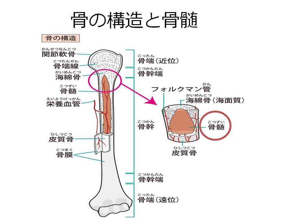 骨の構造と骨髄