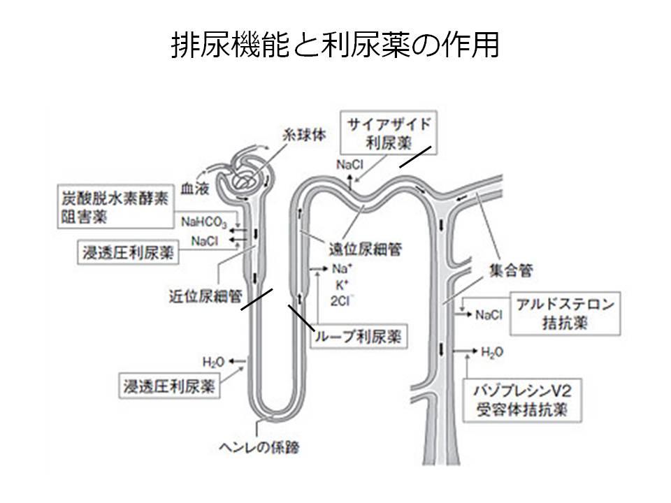 がん、利尿機能と利尿管の作用
